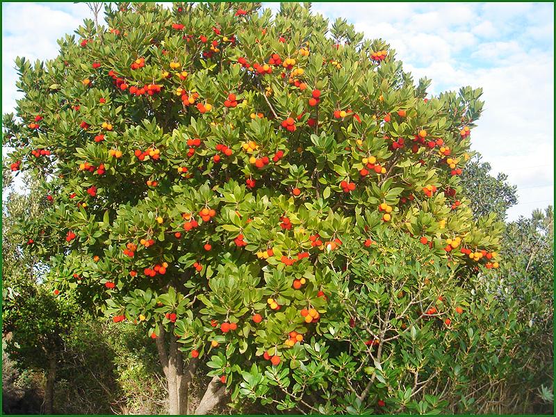 Arbutus unedo, Corbezzolo, Erdbeerbaum.jpg