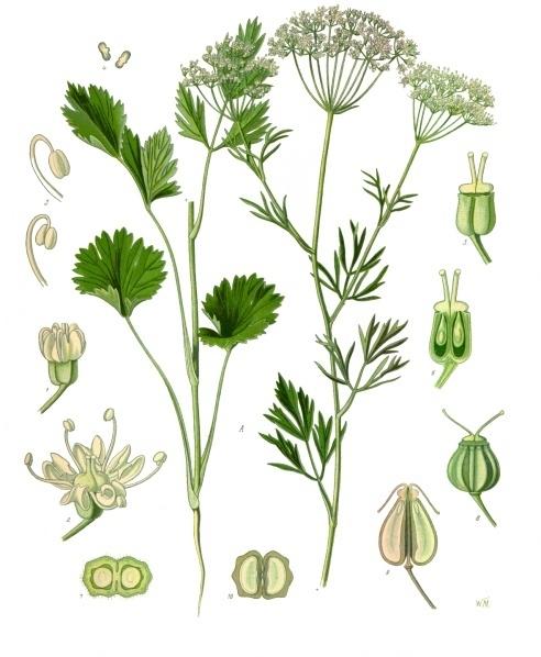 Pimpinella_anisum_-_Köhler–s_Medizinal-Pflanzen-240