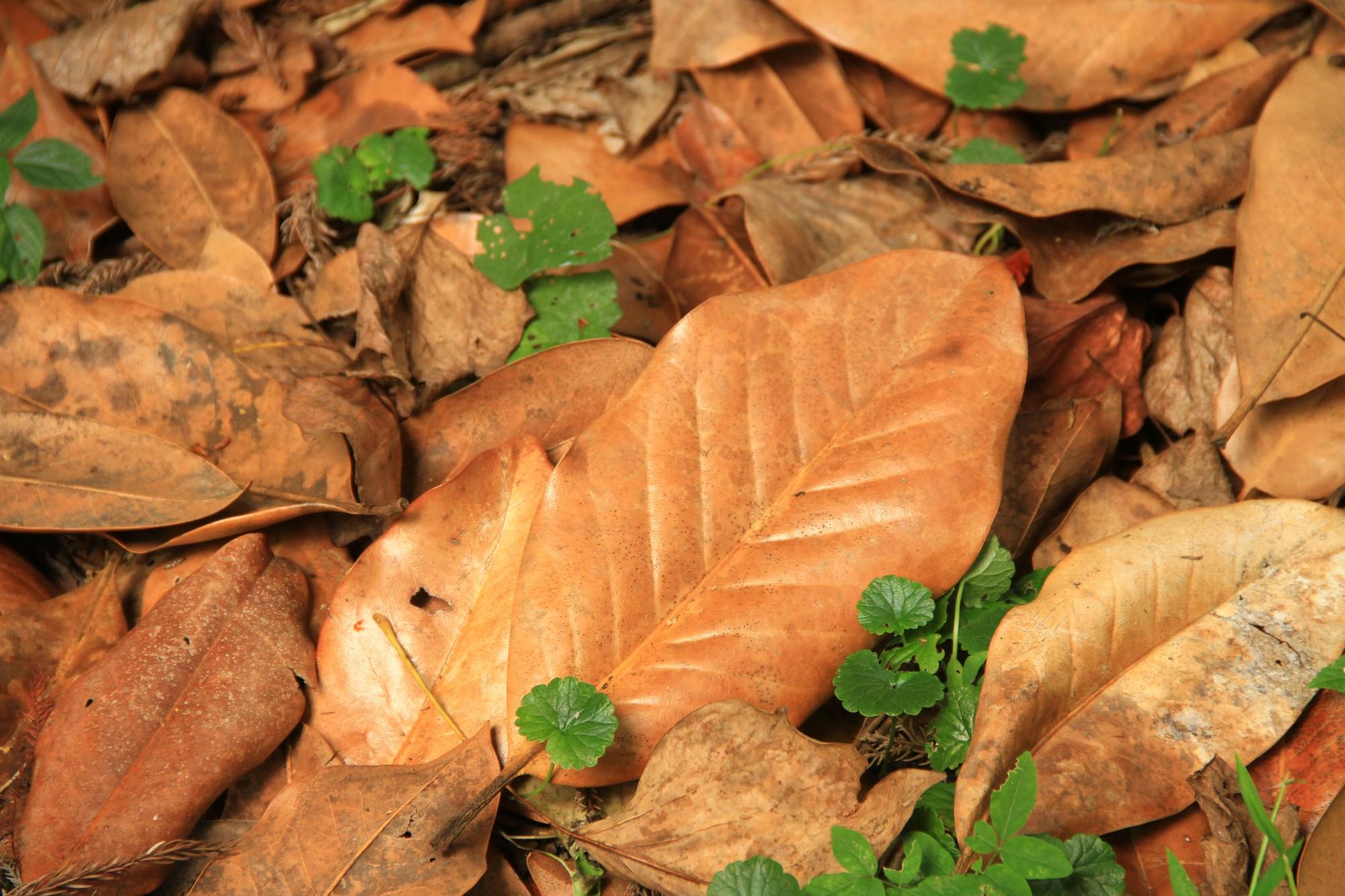 Мёртвый лист. Очень похож на лист магнолии.