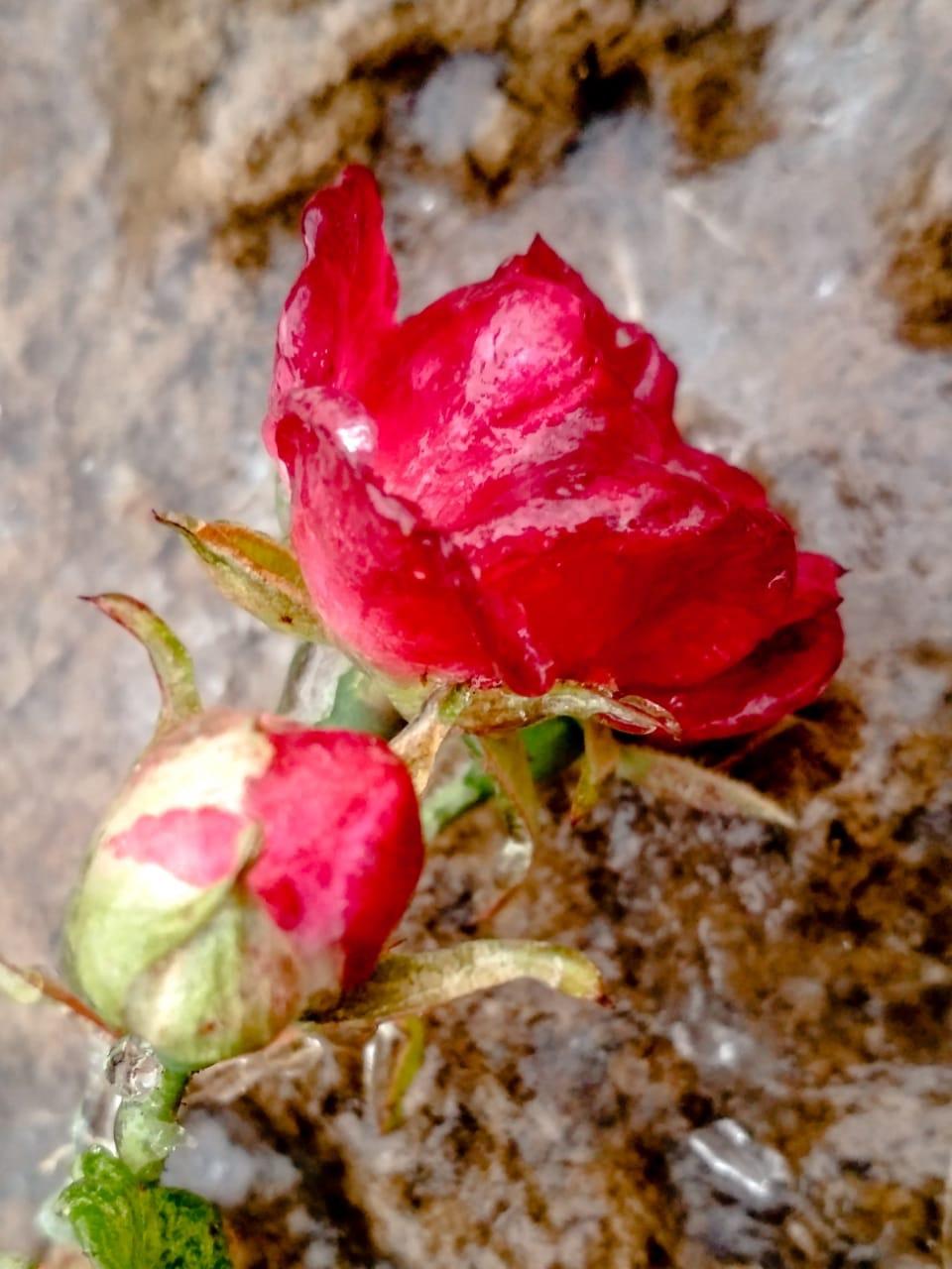 Вчерашняя Роза, которая с мороза.