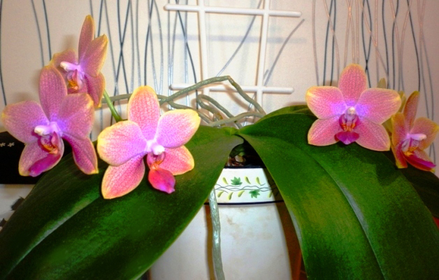 орхидейки (6)