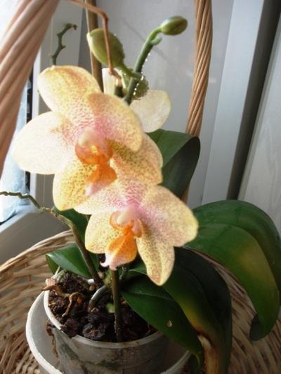 орхидейки (2)