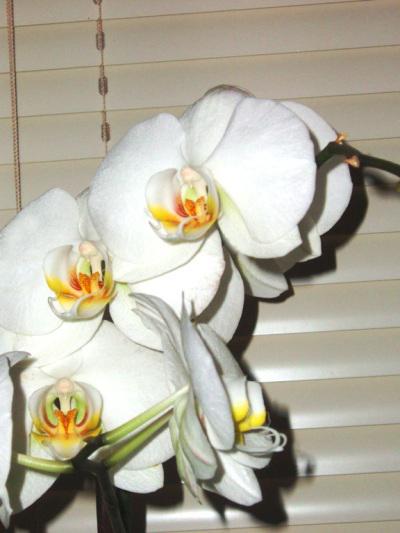 орхидейки (9)