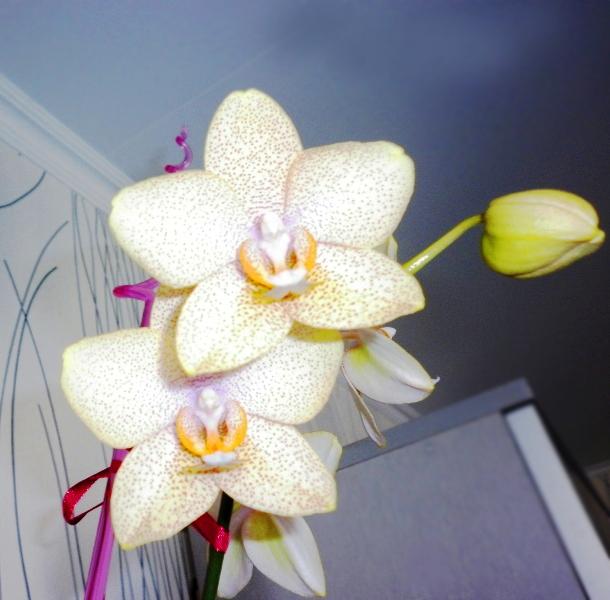 орхидейки (11)