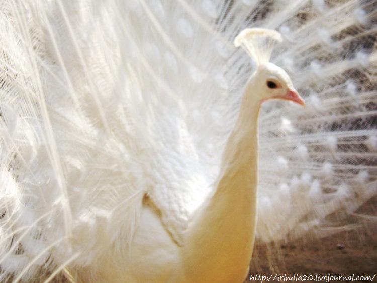 белый павлин (5)