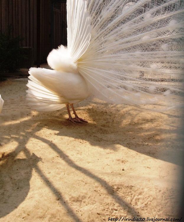 белый павлин (2)