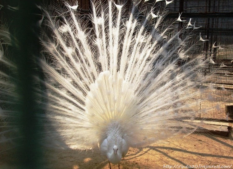 белый павлин (1)