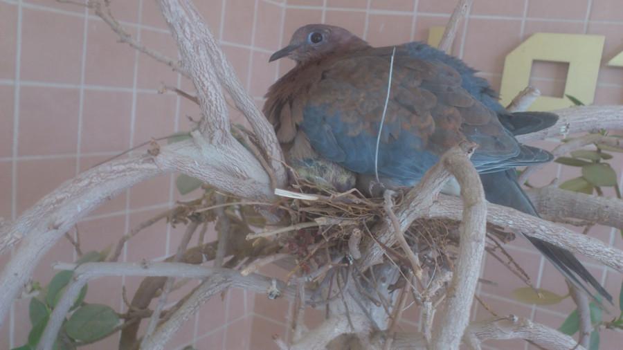 Голубка с птенчиком