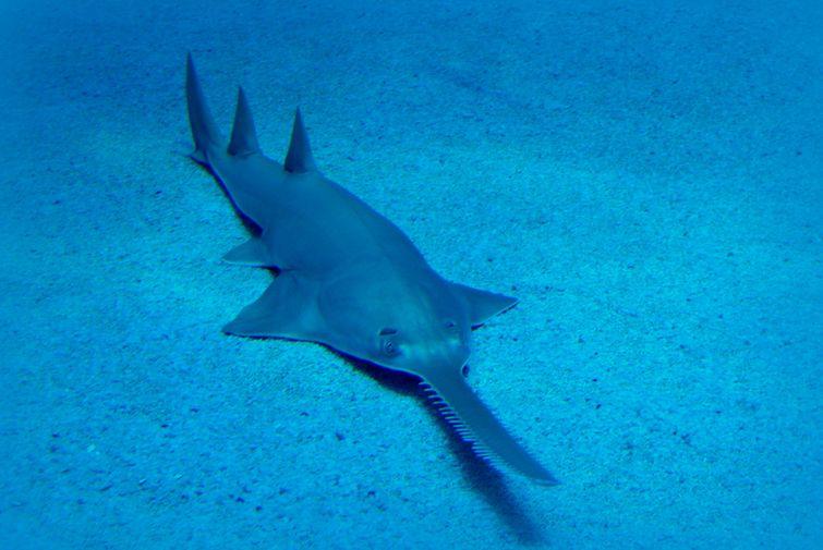 неизвестная рыба-пила2