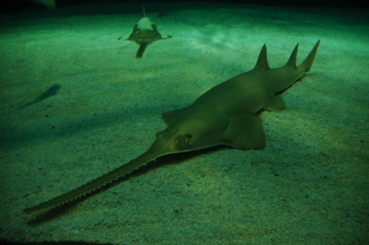 неизвестная рыба-пила9