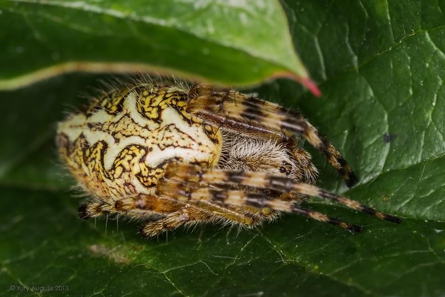 Акулепейра, паук дубовый (Aculepeira ceropegia) 01