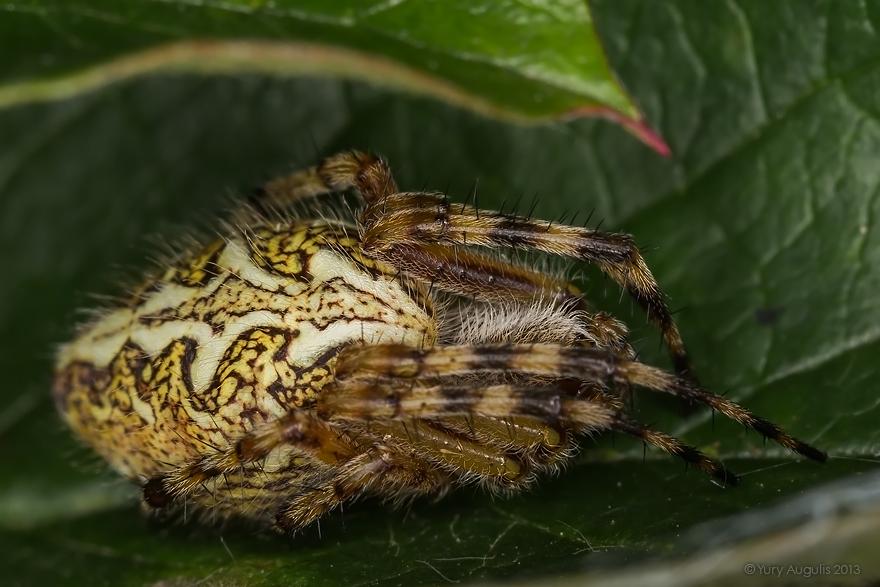 Акулепейра, паук дубовый (Aculepeira ceropegia) 03