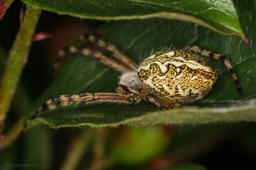 Акулепейра, паук дубовый (Aculepeira ceropegia) 04