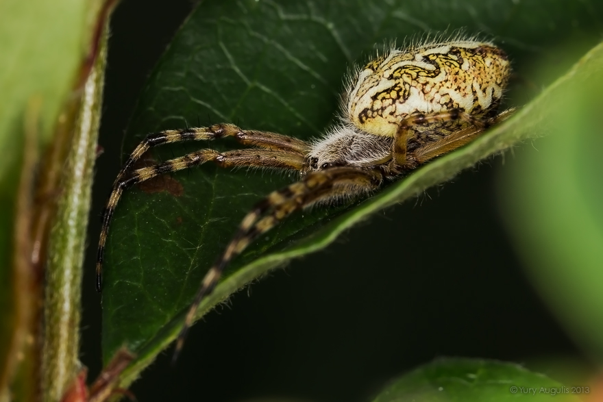 Акулепейра, паук дубовый (Aculepeira ceropegia) 05