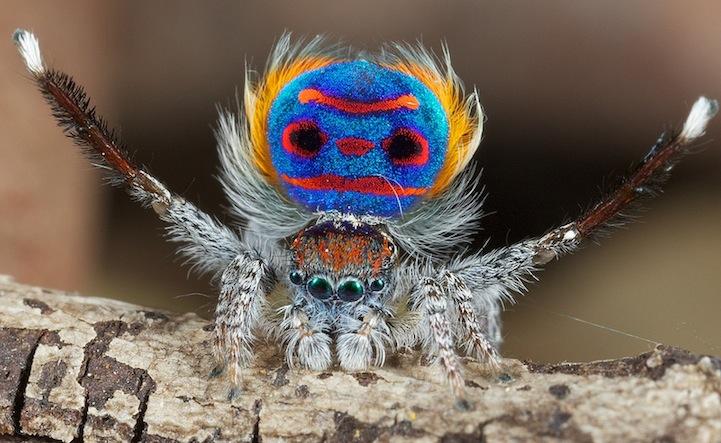 peacock-spider_Maratus-volans_pauk-pavlin_4[1]