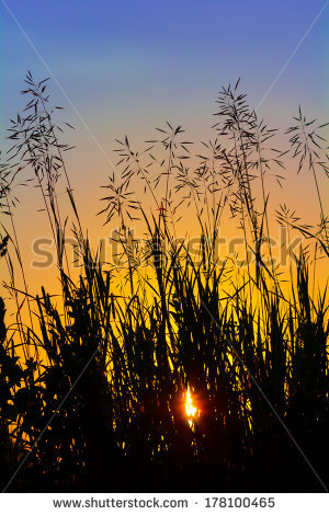 stock-photo-silhouette-of-grass-at-sunset-against-the-evening-sky-178100465
