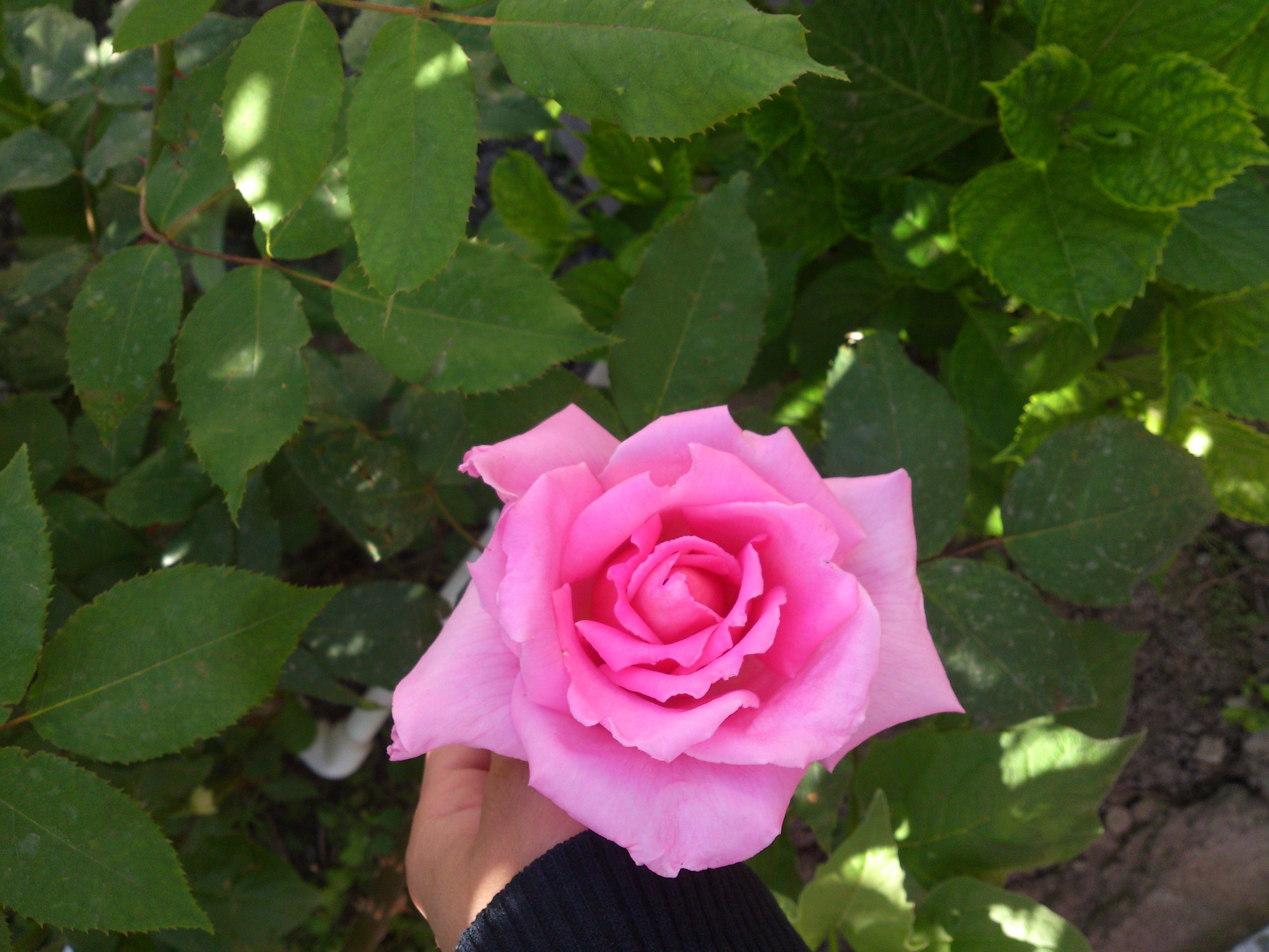 манты роза фото