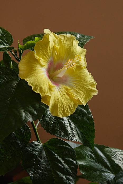 hibiscus too pretty
