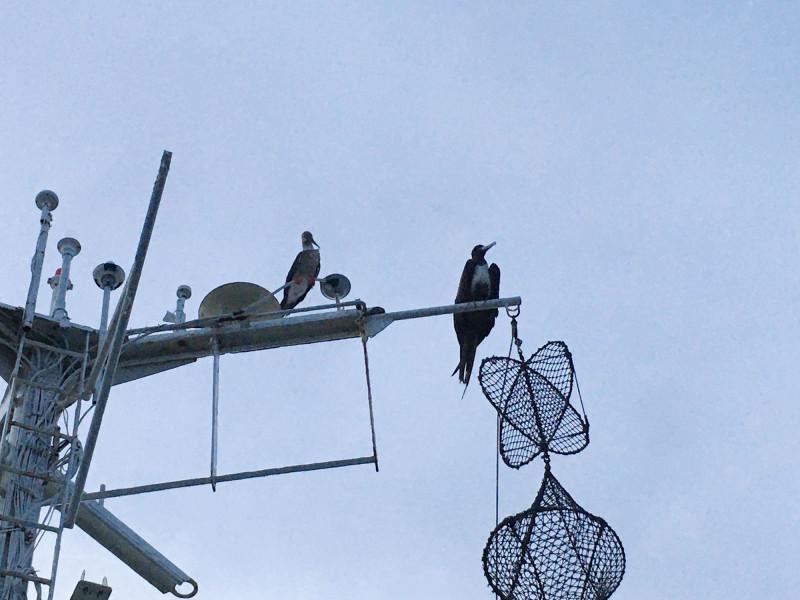 Алуша слева, Баркас справа. Удивительно, но эти птицы живут вдали от берега, непосредственно в океане.