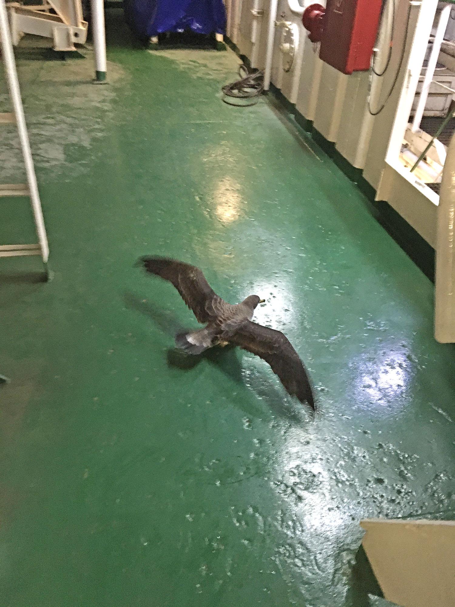 Алуша. Несчастная птица не сможет самостоятельно покинуть судно, поскольку не в состоянии взлететь с палубы. Требуется помощь человека. Но для этого её нужно поймать и ничего ей не сломать.