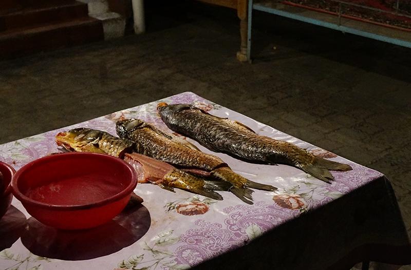 рыбы_сазан