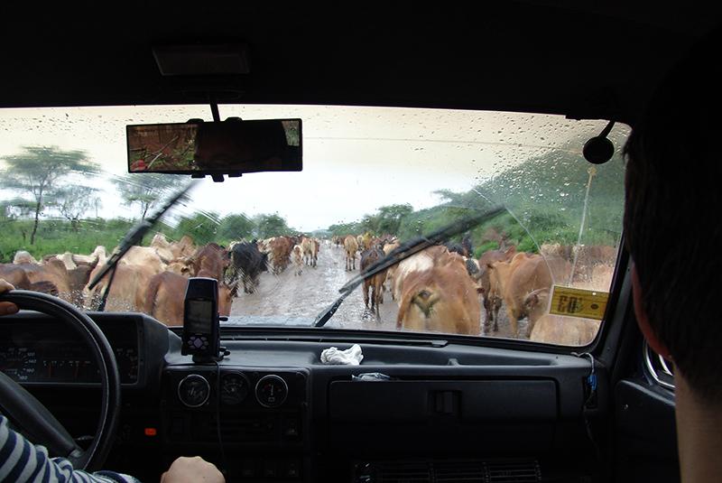 эфиопия_коровы