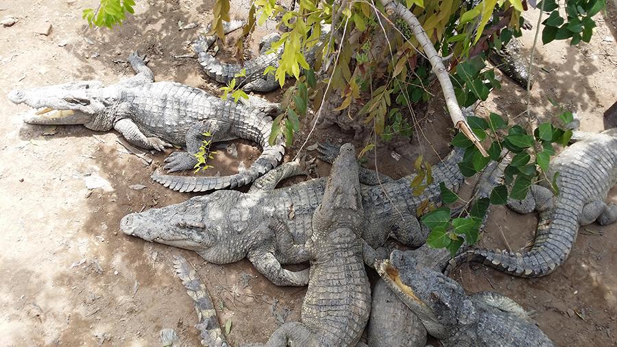 крокодилы2