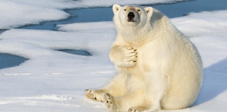 Белый-медвед