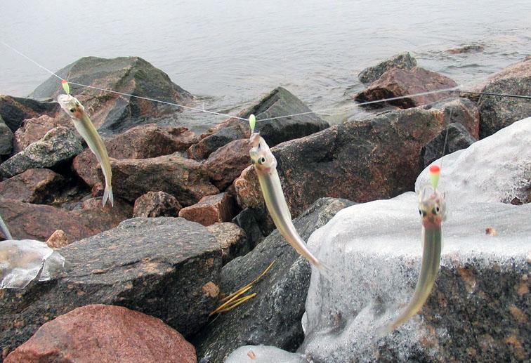 Клев корюшки на финском заливе 2019