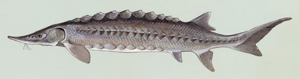 SL-6_Acipenser oxyrhynchus