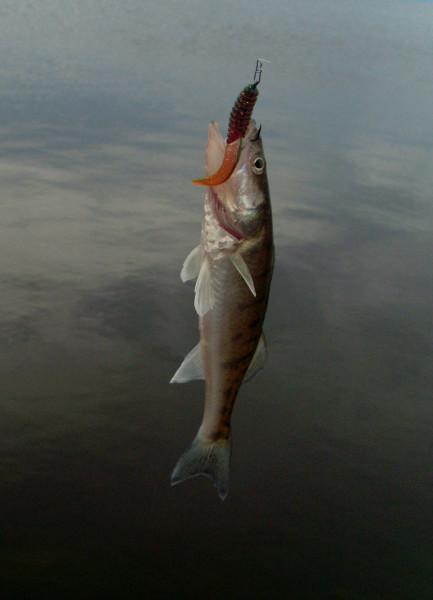 можно ли ловить рыбу в финском заливе