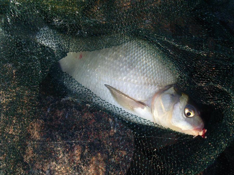 запрет на ловлю рыбы в 2017 году в финском заливе