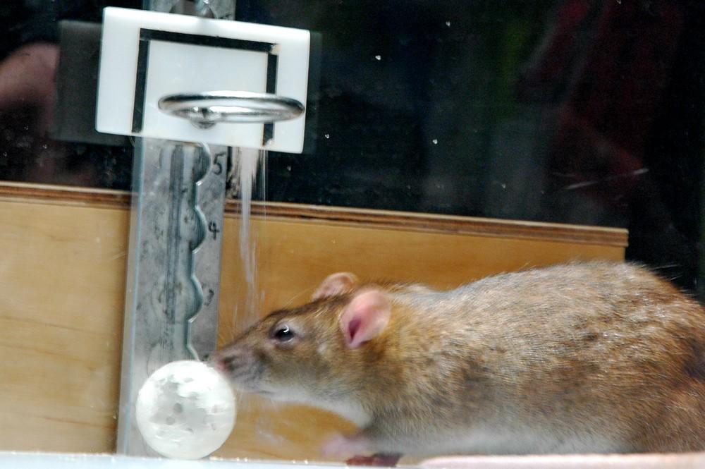 Крысиный баскетбол в финском музее Эврика