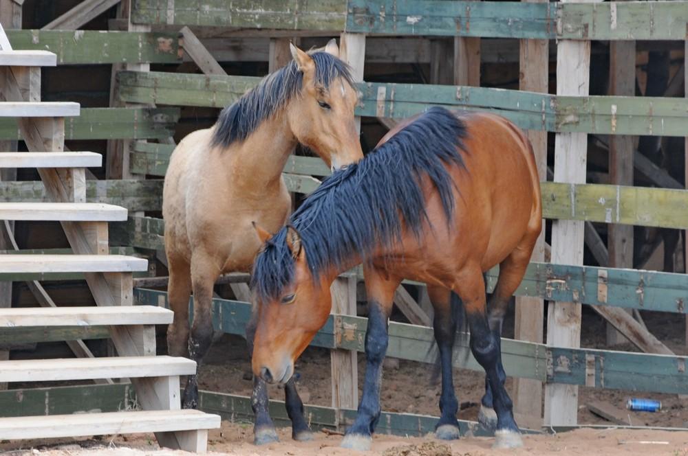 Лошади в Сарай Бату