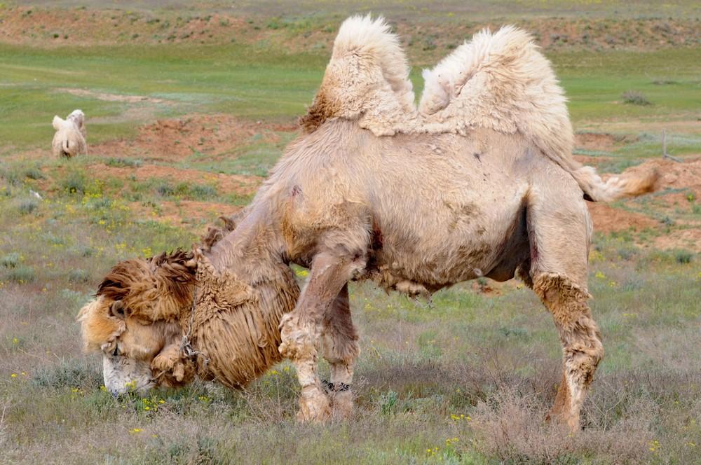 Верблюд в Сарай Бату