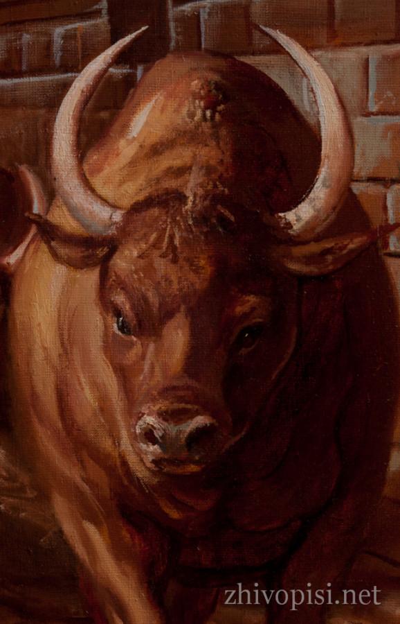 быки-собр-4