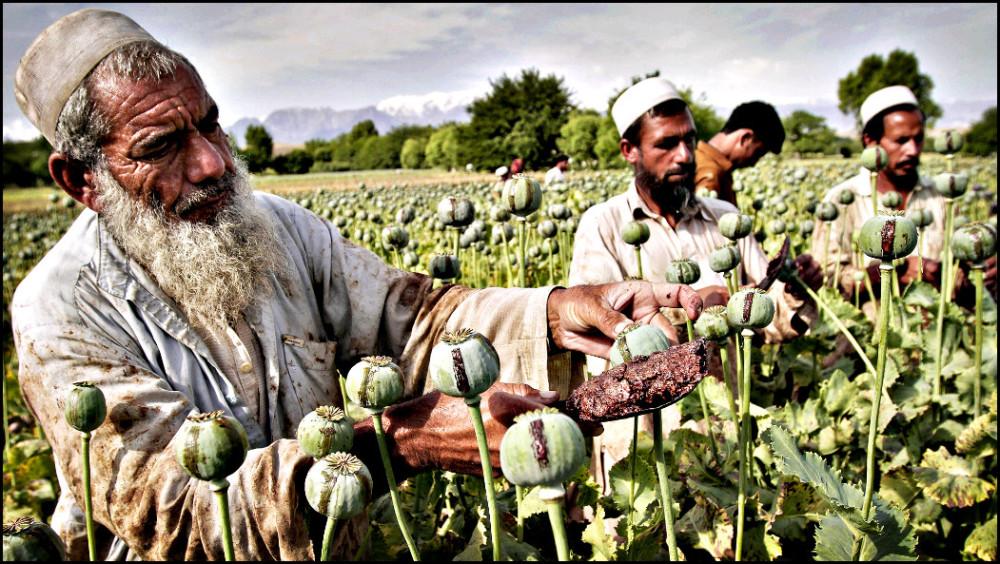 афганистан-опиумный-мак-фото