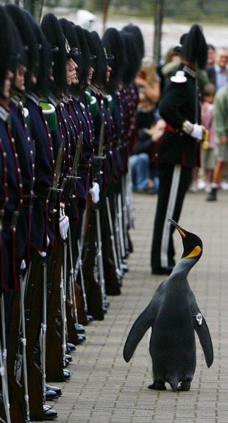 1219059950_nils_olav_penguin_knighted03