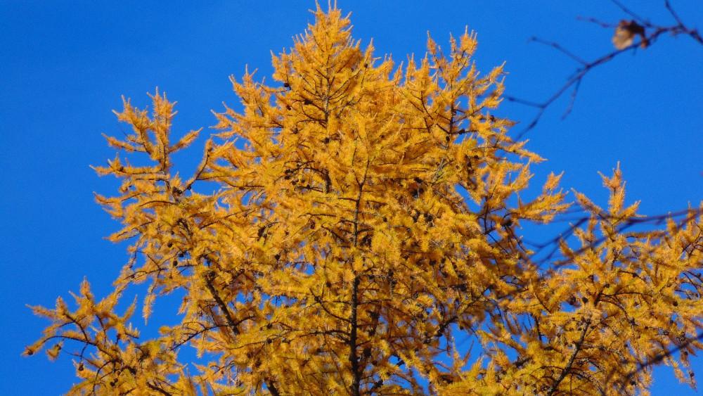 Осенняя лиственница