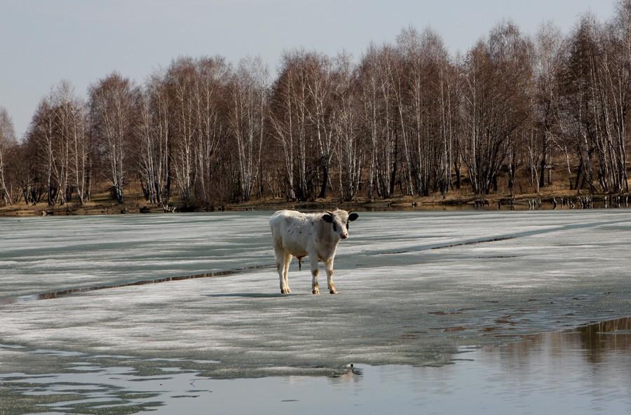 корова на льду фото вершин точное