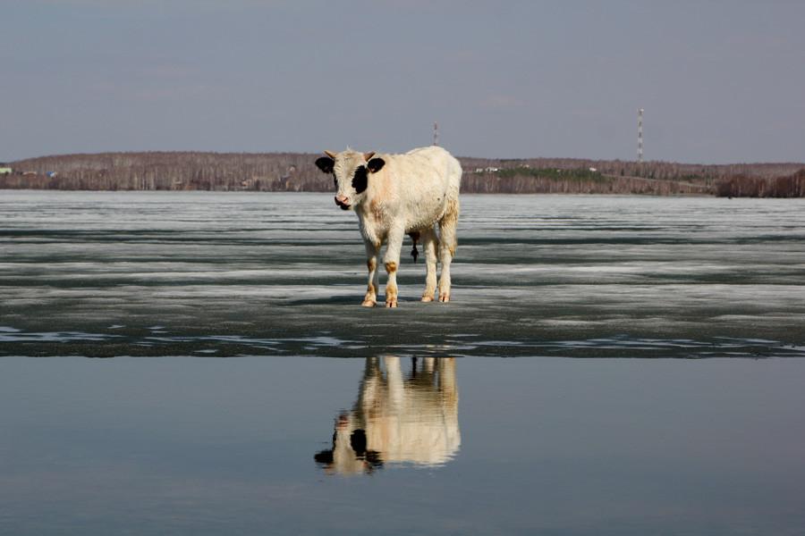 тонкое корова на льду фото ижевчанам тоже интересно