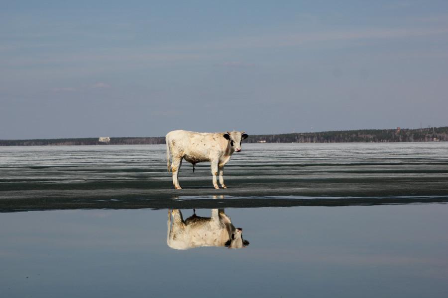 корова на льду фото только удивляться