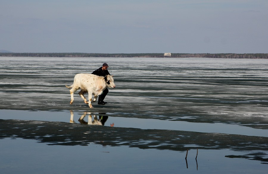 корова на льду фото интерьер