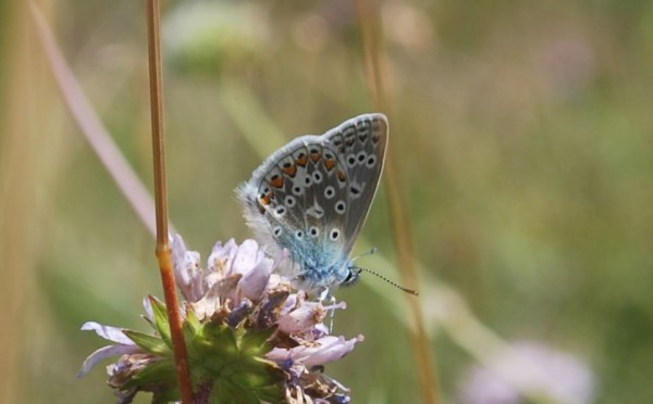 a common blue