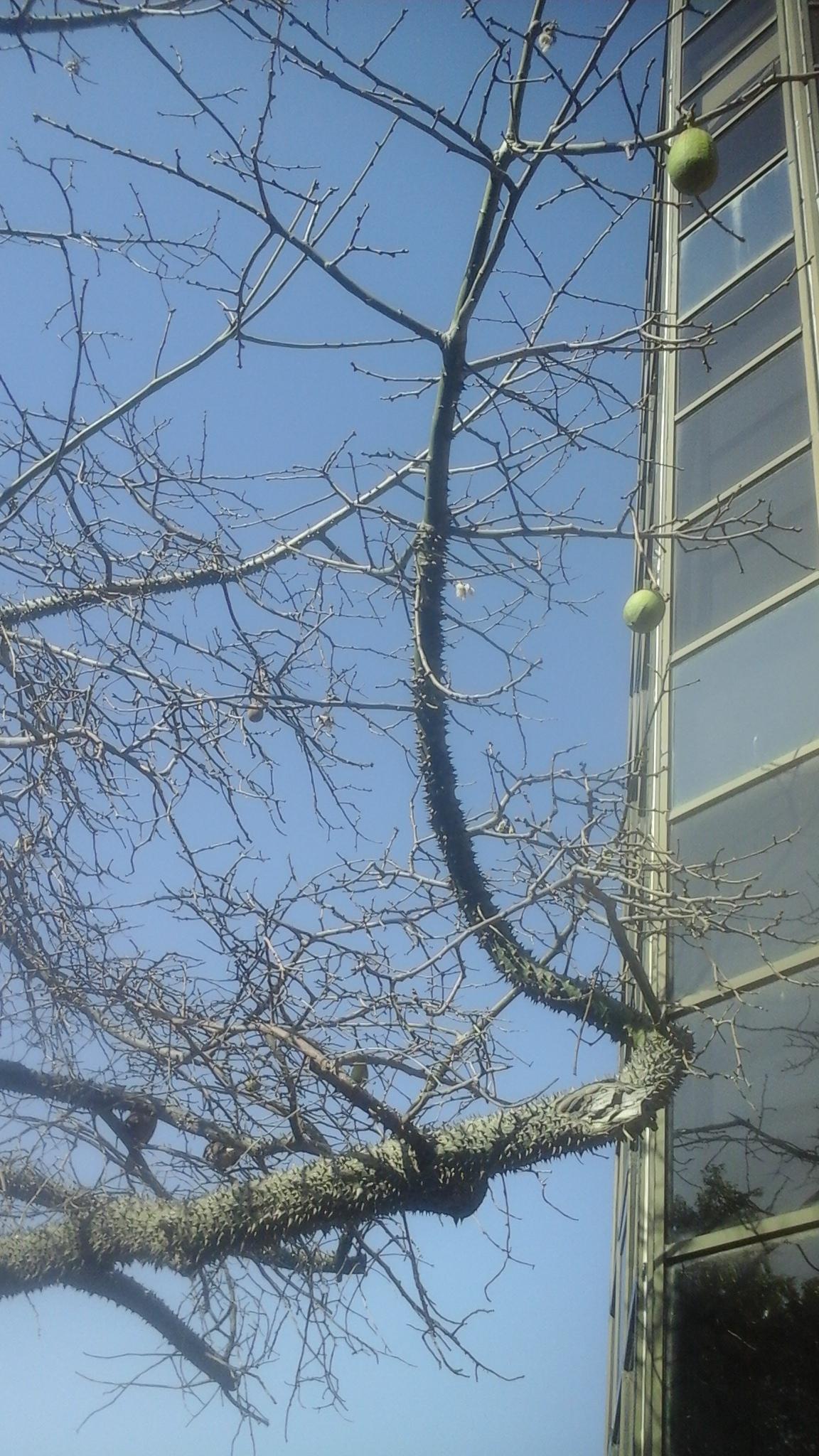 Колючее дерево 2