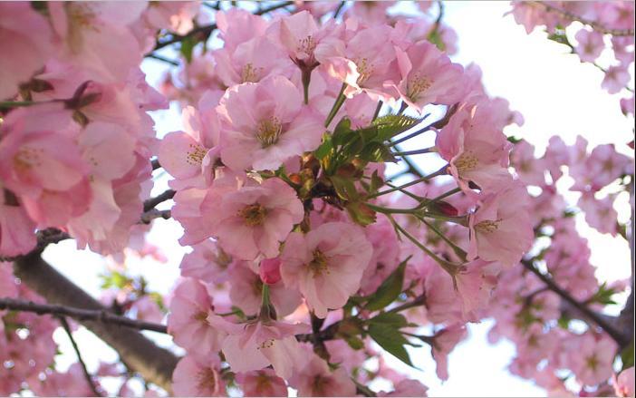 Цветущие деревья картинки
