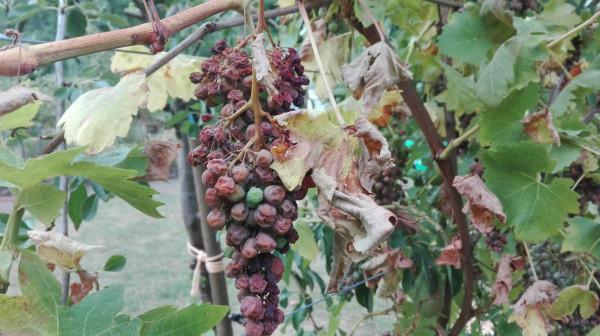 Что случилось с виноградом?