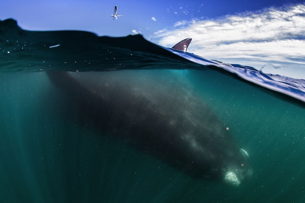 whale-Valdez-Argentina-001
