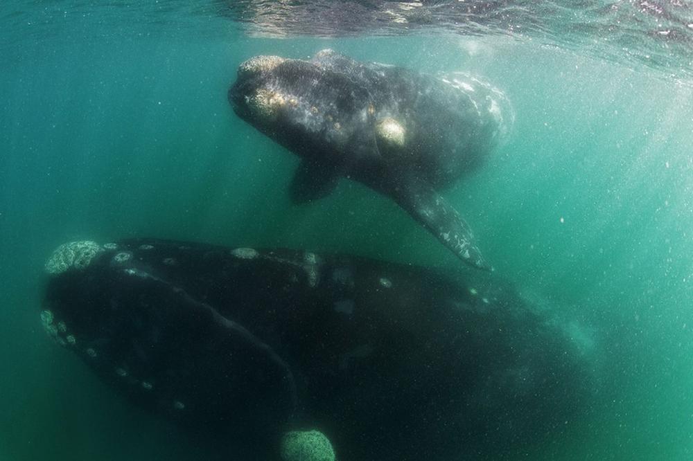 whale-Valdez-Argentina-002