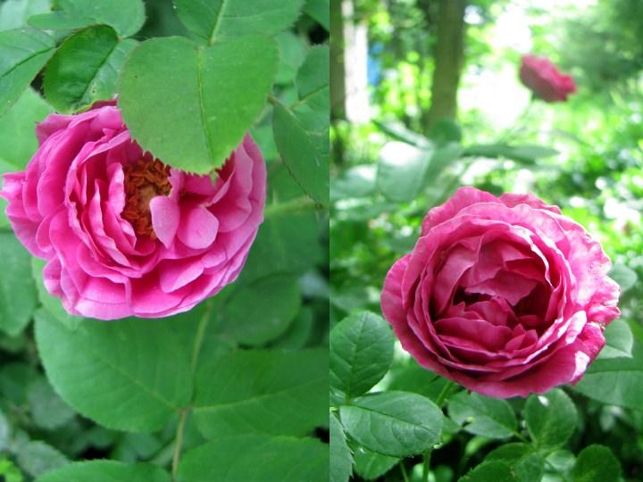 roza_2